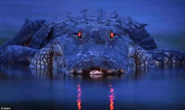 Glowing red eyes of an alligator just after the sunset. http://t.co/NzOYSTJ3nE