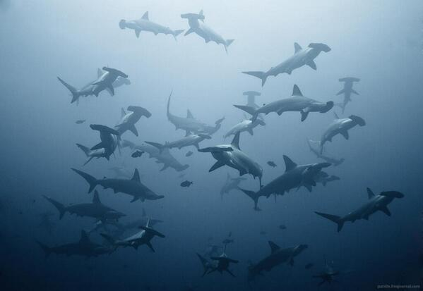 Hammerhead Sharks off the cost of Costa Rica http://t.co/6Q3dLbueB2