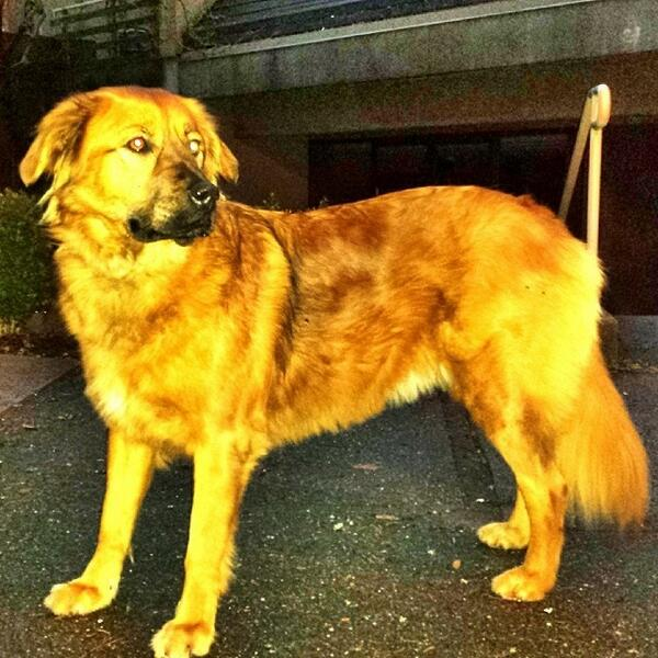 We have found this #lostdog in the False Creek area of Vancouver. Please share. http://t.co/W0kCO5lrKZ
