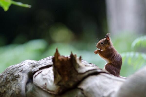 RT @Stu_Pics: Red Squirrel in the light, one of only a few I have ever seen @wildlife_uk http://t.co/nDyii29O8s
