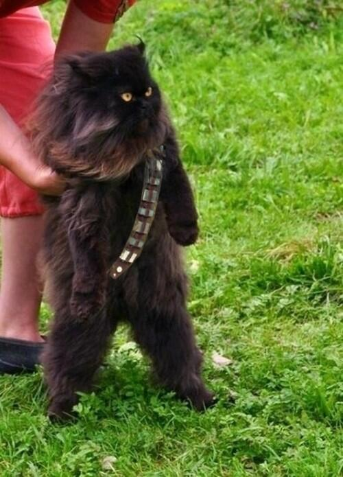 You know Chewbacca. Now meet Meowbacca. #StarWars #Caturday http://t.co/dG0JQ91wg8 http://t.co/JYcEh6k0A0