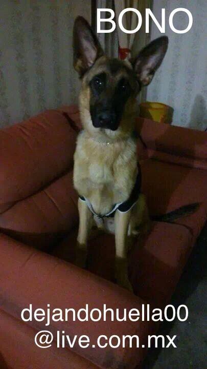 Este perrito busca una casa! Se llama Bono el orejón.  En la foto los datos @en_ladelvalle http://t.co/oIPMZZt0Zr