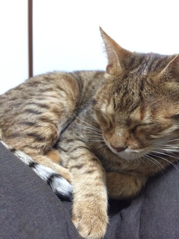 【保護猫】大阪市東成区で出会って家までついてきたので保護しています。茶トラ?キジトラ?の雌。体重4kg弱。首輪はしていませんでした。お心当たりの方いらしたらご連絡ください!【大阪】 http://t.co/MP6xW8D6c1