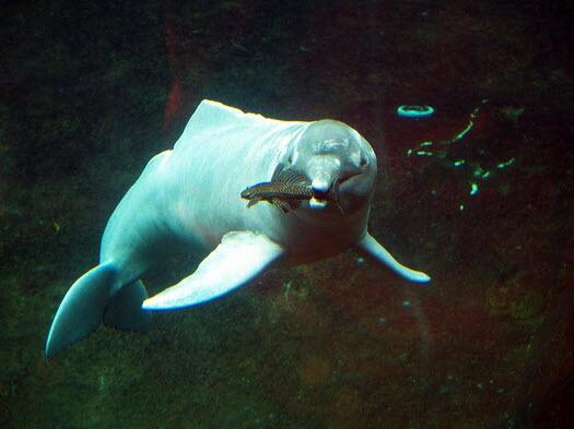A new species of river dolphin has been found in Brazil, the first such finding since 1918. http://t.co/XZ0GdE8JHb http://t.co/WohcruZvVO