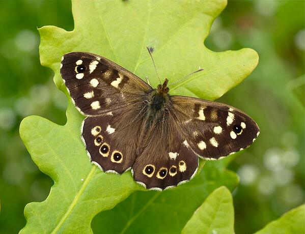 RT @RichardFoxBC: First UK Speckled Wood of 2014 reported, 10 Jan, Surrey. (pic by @dgpixphoto) http://t.co/Y1SlvHVz3O