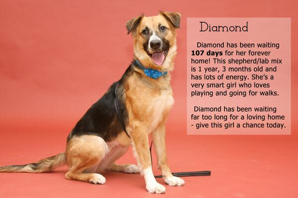 Diamond has been waiting 107 days for a forever home- RT and help her find one today! #adoptdontshop http://t.co/o9UzJ5bGr8