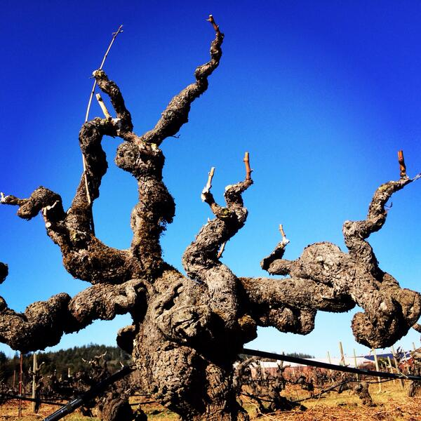 This vine was planted the same year Jesse James was killed (1882) #oldvines #Geyserville http://t.co/vCUUXFrN8a