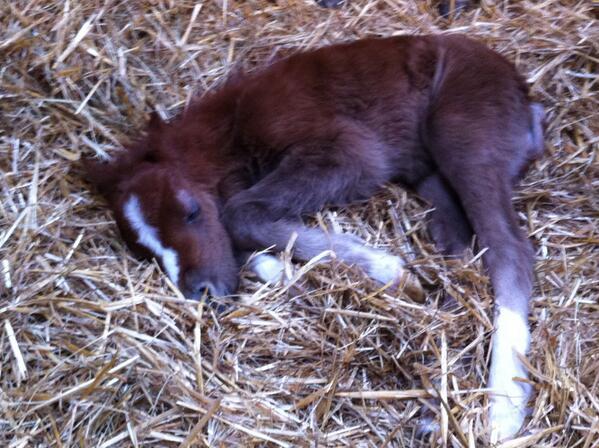 [PHOTO] Bienvenue à Ermes, le poulain Welsh d'@amandinegardes :) RT pour l'accueillir parmi nous ! http://t.co/qFDLZbx6fL