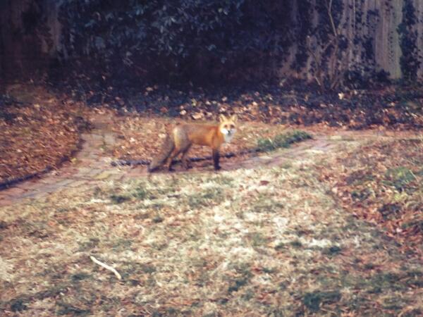 Who says Arlington County has no wildlife? My backyard disagrees. @ARLnowDOTcom #giantfox #whatdoesthefoxsay http://t.co/BiAXLPyIUL
