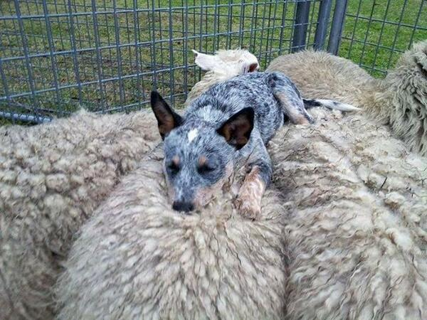 An Australian Blue Heeler goes to sleep on top of the flock it has herded. http://t.co/PDGBzNC6yK