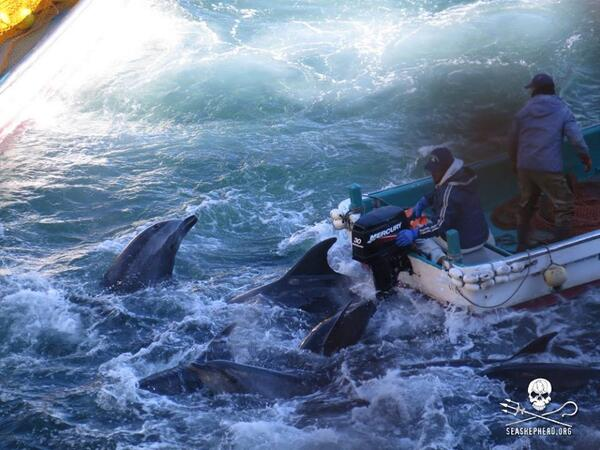 Cruelty beyond belief. Running an outboard motor over dolphin pod. Via @CoveGuardians #tweet4taiji #HelpCoveDolphins http://t.co/MlG6Icowpg