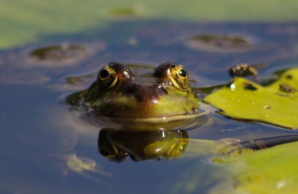 RT @MikeEL88: Marsh Frog at WWT London @wildlife_uk @WWTLondon @froglifers http://t.co/GqIFxiyrZ6