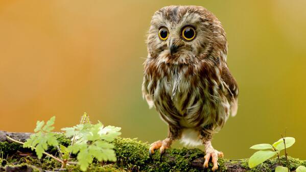 Via @stormtrees RT @wildlifeaid Help Save British Owls - Adopt one at http://t.co/OYzMNJa4yr #saveowls #helpowls #owl http://t.co/6qXsUvcHBD