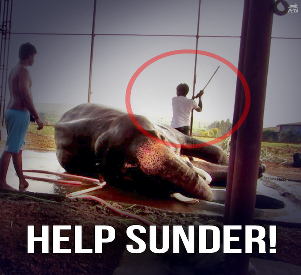 """""""@peta: 6+ YEARS: That's how long Sunder the elephant has been chained & BEATEN. RT & HELP: http://t.co/uyl1LXyyQd http://t.co/QCyOyn7Dwf"""""""