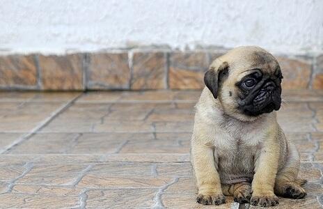 Pug puppy! http://t.co/kUmpUn8dki