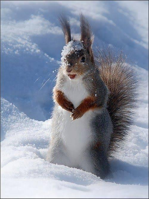 Squirrel playing in the snow http://t.co/7TgoLvYiKc