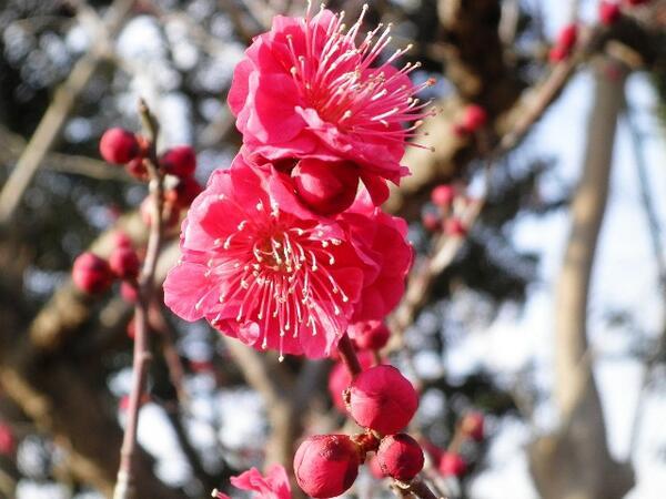 ウメ園が散策できる小路が完成しました。だいぶ咲き進んできています。間近でご覧いただき、香りと共にお楽しみください。 #kanagawa_photo #ofuna #kamakura http://t.co/MvcBC6omhA