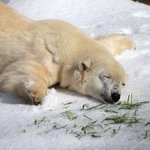 RT @ThatsEarth: Pike, a 30 year old Polar Bear in the SF zoo, had 10 tons of snow given to him on his birthday. He looks happy. http://t.co…