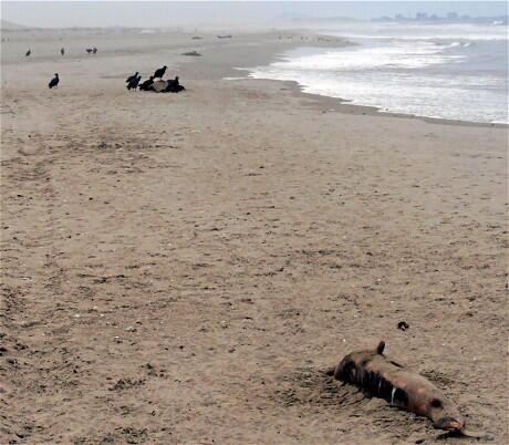 indyradmama (@Indyradmama): Scientists baffled after 400 dead dolphins wash up on Peru's beaches http://t.co/giMrw7IcpT (Pic: AFP) http://t.co/94uHtYxbar