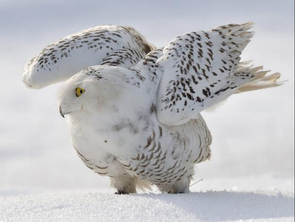 7 snow white animals that flourish in winter: http://t.co/YkJ0TfBNdg http://t.co/Mg25bSNMRS