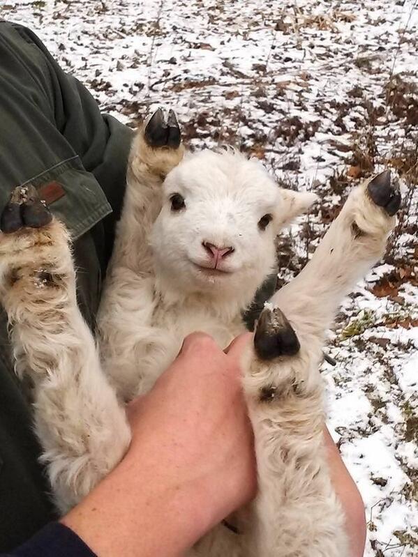 Baby lamb getting tickled http://t.co/u8kV2bFi91