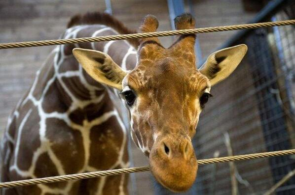 "Marius: We're sorry @copenhagenzoo saw you as ""surplus"" In our eyes you were a beautiful & sweet boy #RIPMarius ~ http://t.co/T1sItHJDAn"
