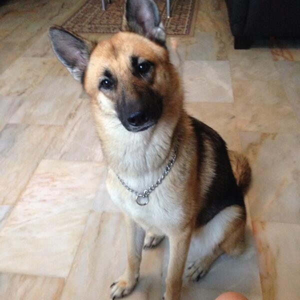 . @janclp's female German Shepherd went missing around Loyang area about an hour ago! Help to RT pls! http://t.co/BvTebHeMWZ