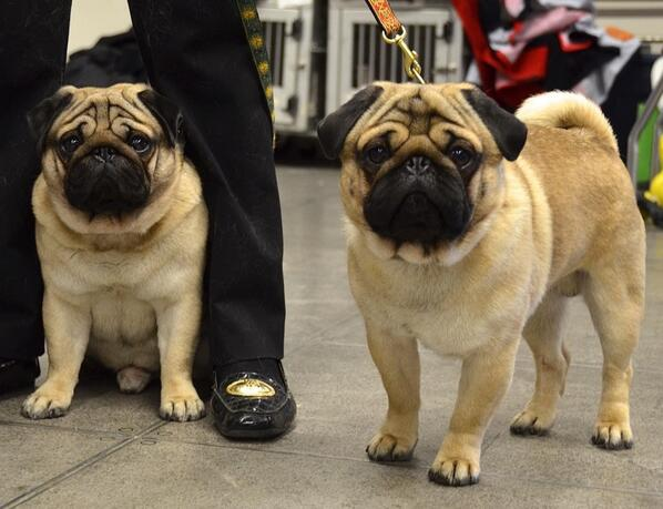 Welcome to #westminster little #pugs...Don't look so worried...the judge is gonna love you! @WKCDOGS http://t.co/kPjRaPEZBM
