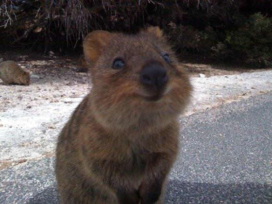 Can we interest U in a Cute Little Quokka this Monday morning? http://t.co/u4jvWPunVZ
