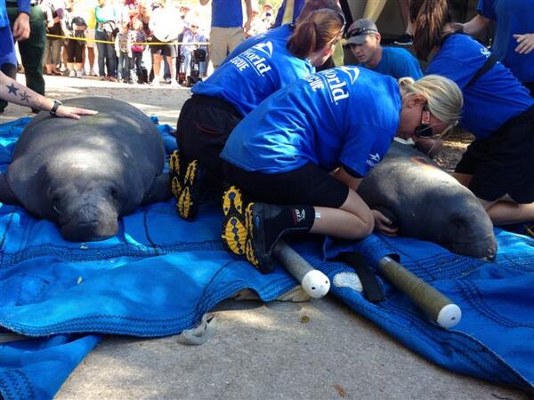 Cold-stunned manatees returned today 2 Blue Springs National Park after successful rehab @SeaWorld Orlando Sweet! :) http://t.co/I4gJo7HYAt