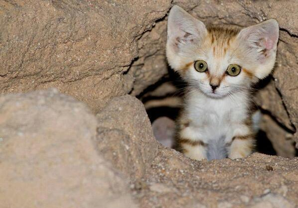 Baby Arabian sand cat http://t.co/dTwe9FI9bE