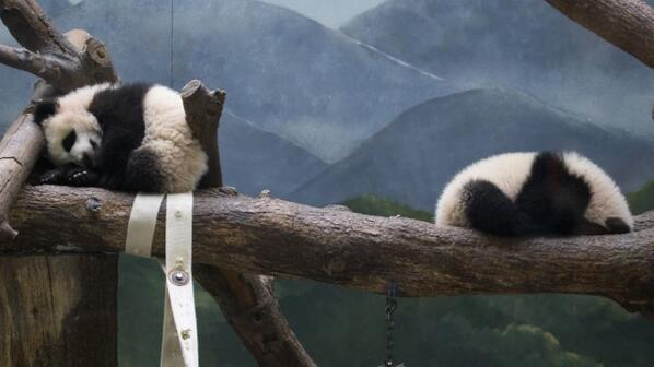 You hide. I'll count. One ... two ... three ... #ZAPandaCubs http://t.co/AOzAL9waUP