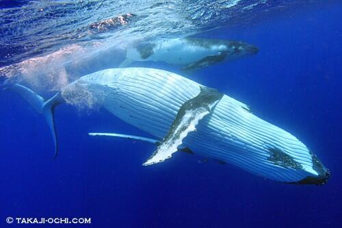 なんと!西伊豆・大瀬崎の湾内の海中にザトウクジラが出現! http://t.co/riAU3O7dLG http://t.co/5C1gGbGyje