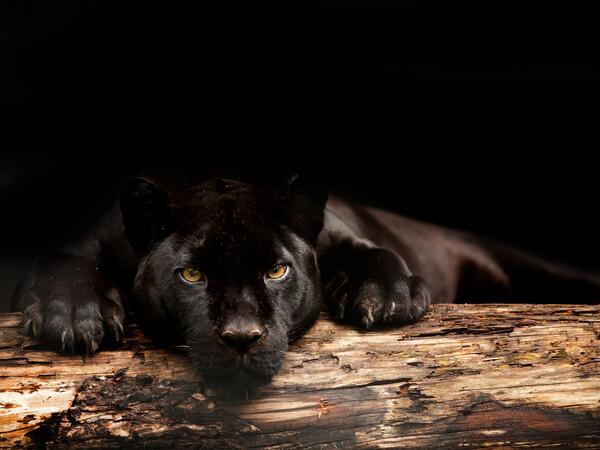 De zwarte #jaguar van @Artis, Inaja, is vandaag aan ouderdom en nierfalen overleden. http://t.co/PpU9jk3DMI http://t.co/O9mtOnwtPX