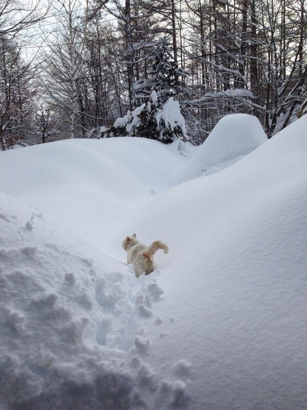 雪かき開始!ウチに一晩泊まっていったノラ猫シローさんは果敢にもどこかに出かけて行った!w http://t.co/nbhr75rOR2