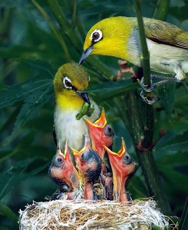 """My dinner's nicer than theirs --> """"@hahnsmith: Japanese white eyes #birds http://t.co/Hgdjz4gNTg"""""""