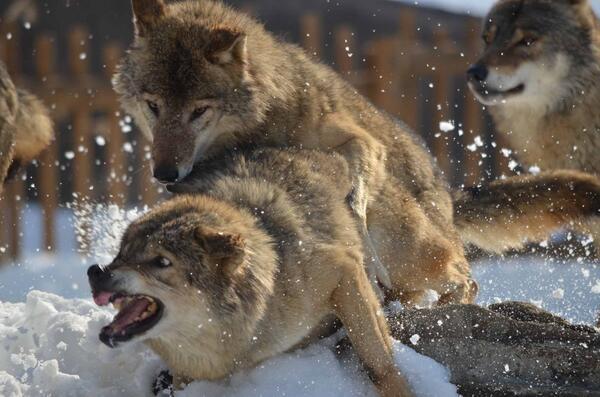 凄く躍動感あるの撮れた #狼 #オオカミ #多摩動物公園 http://t.co/It848gMm3s