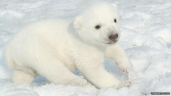 Canada: Mysterious origins for baby polar bear's name  http://t.co/gag2V7J4Cc #NewsfromElsewhere http://t.co/qdjPZSzTRj