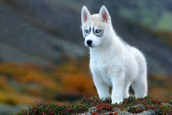 Siberian Husky Pup http://t.co/gdT4zj3sD2