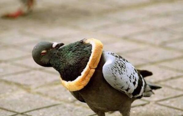 Sian Welby (@Sianwelby): It breaks my heart to see this poor in-bread pigeon. http://t.co/Pam6JLPfx4