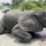 RT @rickygervais: Please help me stop elephant poaching. It makes me want to cry. And kill the fucking scum that did this.. http://t.co/4Mo…
