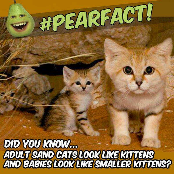 #PearFacts: Did you know that adult Sand Cats look like kittens and their babies look like smaller kittens? http://t.co/sUxhmY8Ekc