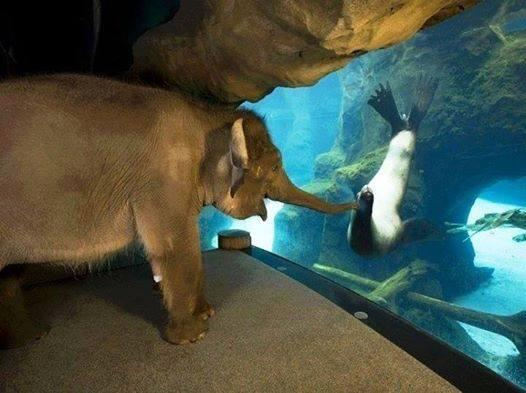 The animal handlers at the Oregon Zoo took Elephant around to meet some other animals. The sea lions were her fav. http://t.co/T975NwcWBV