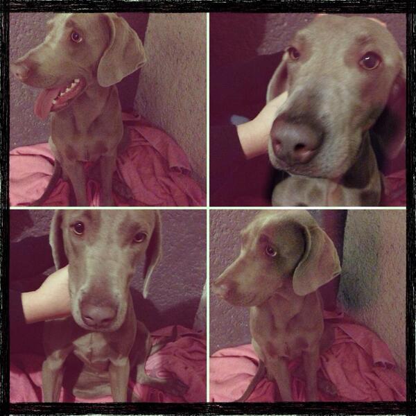 @EnGuadalajara Adopten a ésta perrita weimaraner llamada Frida, informes con Brenda Esparza 331279-7212, RT porfis! http://t.co/ycL0i0kW6X
