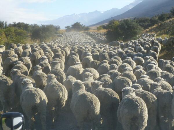 HEAVY TRAFFIC in NEW ZEALAND . Sometimes getting to work can be a nightmare ... #NewZealand #nzwine http://t.co/1dDL64wrdy