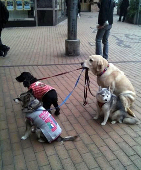 Outside of a store in Hong Kong, a Yellow Lab holds the leads of 3 other dogs while their owner shops inside. http://t.co/ZLWPJjrUyg