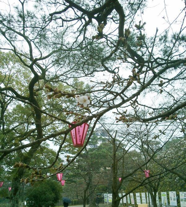 ねぇねぇ、高知のみんなぁ!今日、桜開花前線の全国トップを切って、高知地方気象台がソメイヨシノの開花発表したで!パチパチパチ。飲み屋さんでもいつ咲くろうかいうて、話題になっちょったき。まずはお祝いで一杯やね。 http://t.co/n0WEnA2DDR