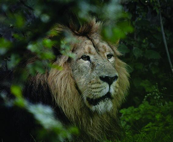 It is with immense sadness that we announce the death of DZG's male Asiatic lion, Mwamba http://t.co/jKbxE3PdEM http://t.co/lbx9xKf98t