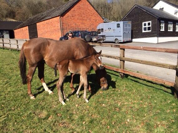 Born yesterday here is the Frankel ex Model Queen colt. The great mare has done it again and produced another corker! http://t.co/hnavnLA8sw