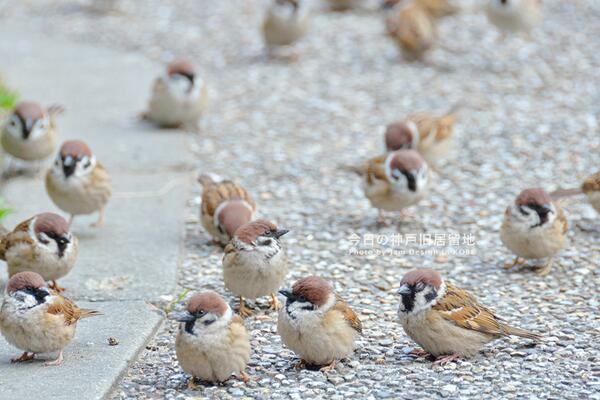 なぜか今日はスズメが集まってきました。 この陽気のせいかカメラを構えていたらスズメがどんどん周りに集まってきて手が届きそうな所までやってきました。 http://t.co/VCkcGIKkcT